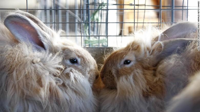 two angora bunnies