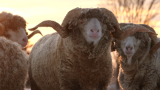 Why I spent a week looking for sheep