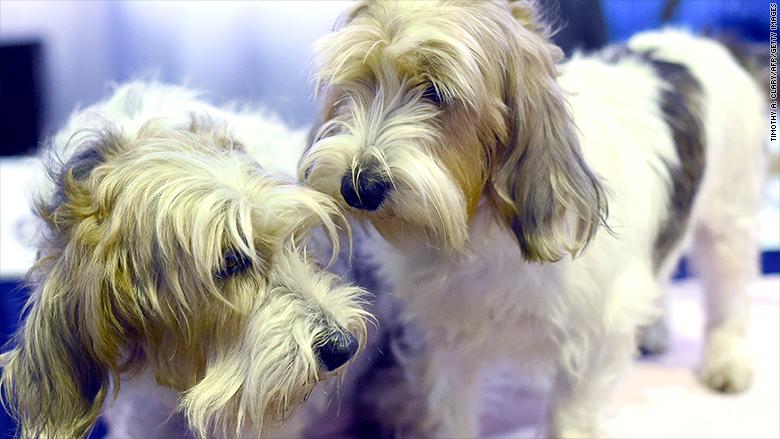 Grooming Pbgv Dogs