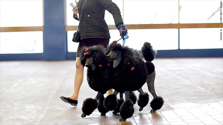 westminster 2015 poodles