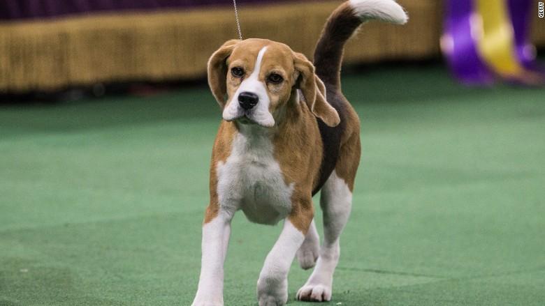 Westminster Dog Show top dog