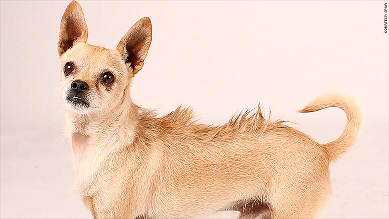 san fransisco pet housing chihuahua