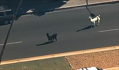 Cable news and social media go all in on #LlamaWatch
