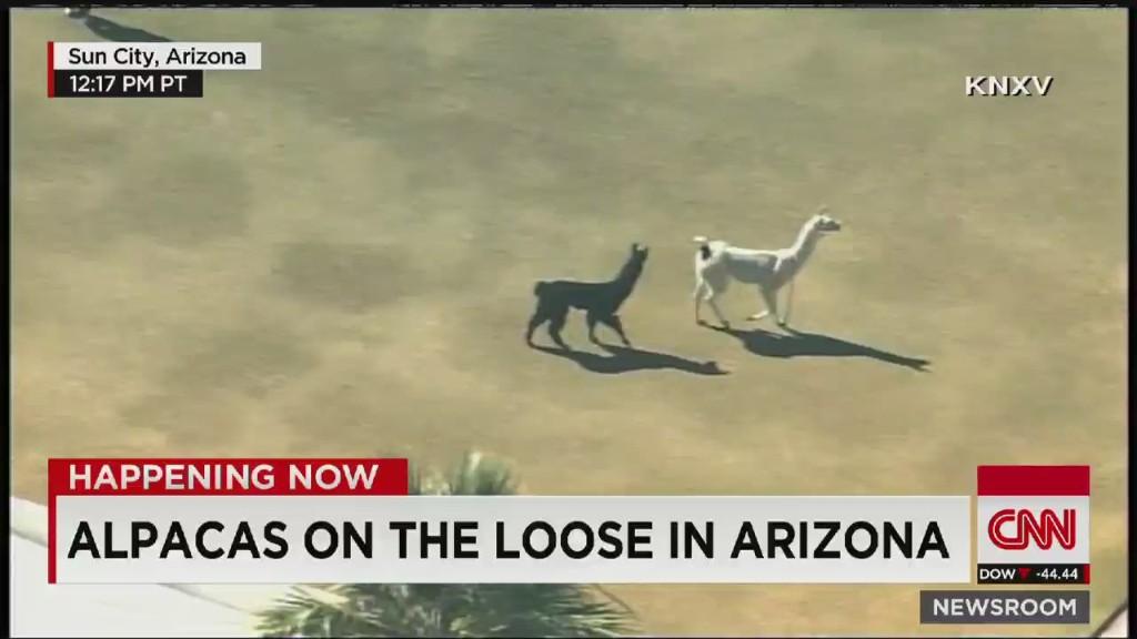 Llama drama: Animals on the loose