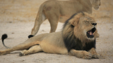 Public outcry over Cecil's death hurts dentist's business