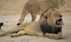 Public outcry over Cecil's death hurts dentist's business