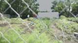 A Fennel Bulb Grows in the 9th Ward