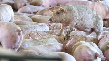 How the animals you eat get fat