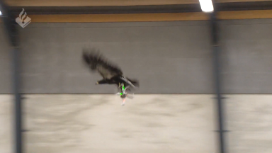 Dutch cops use eagles to hunt drones