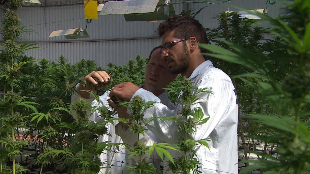 Is 'kosher' cannabis Israel's next big export?