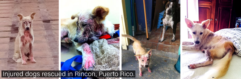 puerto rico stray dogs in story 3