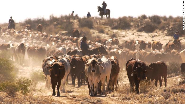 Australia cattle