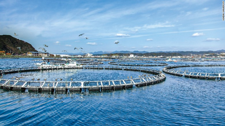 Kindai university fish farm