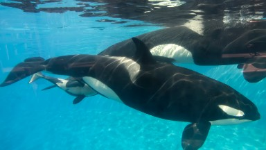 SeaWorld is laying off 350 workers as attendance wanes