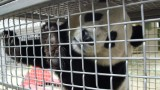 Bao Bao the Panda prepares for a trip to China