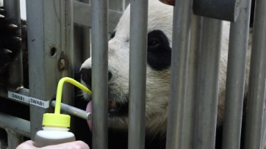 Panda's first flight: FedEx sends Bao Bao to China