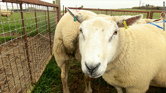 New AI system can tell if a sheep is in pain