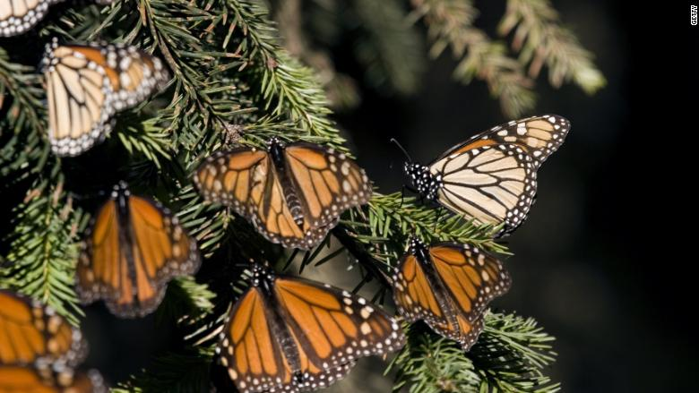 Why Monsanto and its rivals are trying to save butterflies