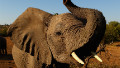 Thumbnail for Nearly 300 elephants slain in Cameroon for ivory, government minister confirms - CNN.com
