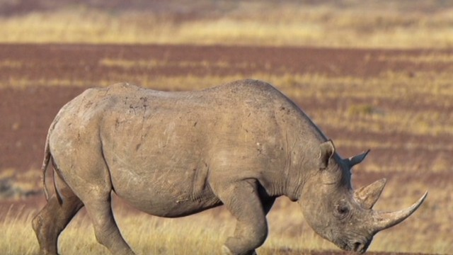 Thumbnail for Dallas Safari Club auctioned off black rhino hunting permit - CNN.com