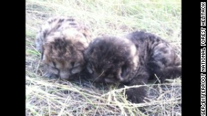 The cubs are between 1 and 2 weeks old. They\'re both males and are at a wildlife rehabilitation center in Helena.