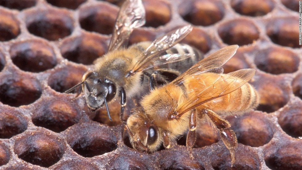 An Africanized honeybee (left) and a European honeybee on honeycomb. Despite color differences between these two bees, normally they can't be identified by eye.Photo by Scott Bauer.