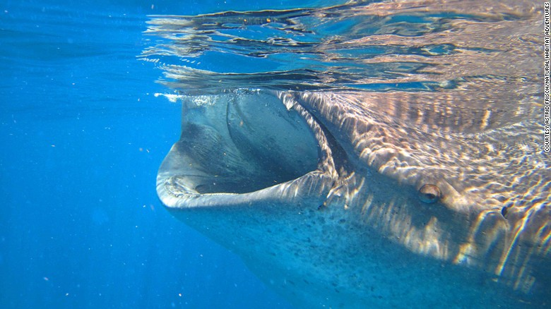 In summer, whale sharks off the coast of Isla Holbox swim near the surface and feed on plankton.