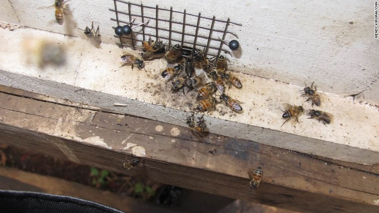 Bees are studied at the  African Reference Laboratory for Bee Health in Nairobi, Kenya.