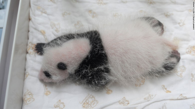 A newborn panda cub is seen on Friday, August 21, in Ya'an, China. Ten cubs born at a panda breeding center were shown to the public for the first time. Some were less than a week old.