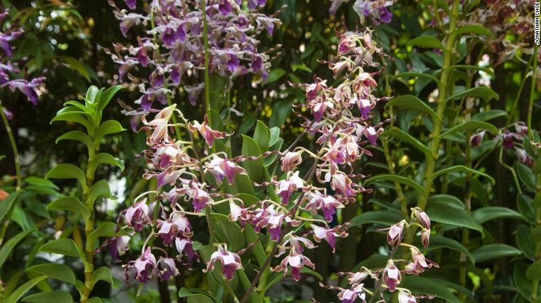 """This orchid is named """"Dendrobium Margaret Thatcher"""" after the late UK prime minister, who was nicknamed the Iron Lady."""
