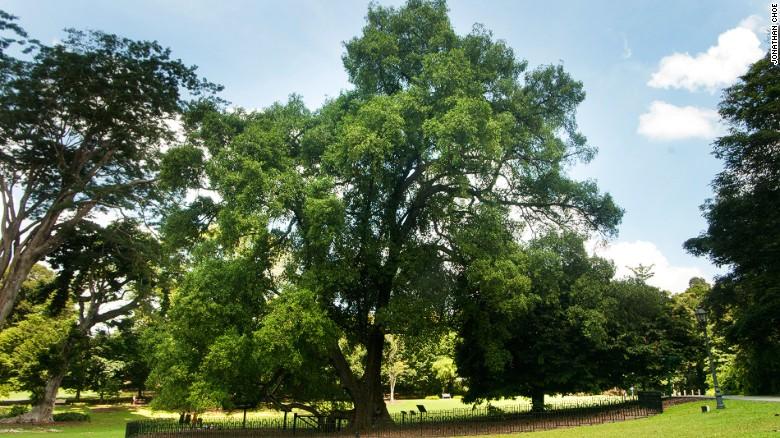 The evergreen Tembusu tree can grow to 40 meters in height.