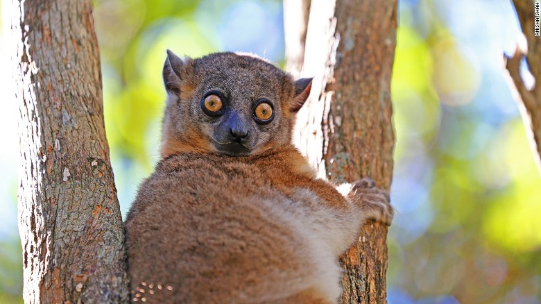 Madagascar's 106 species of lemur are the star attraction.