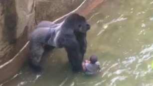 Sorry America - The Gorilla Is An Animal, Not A Black Man!
