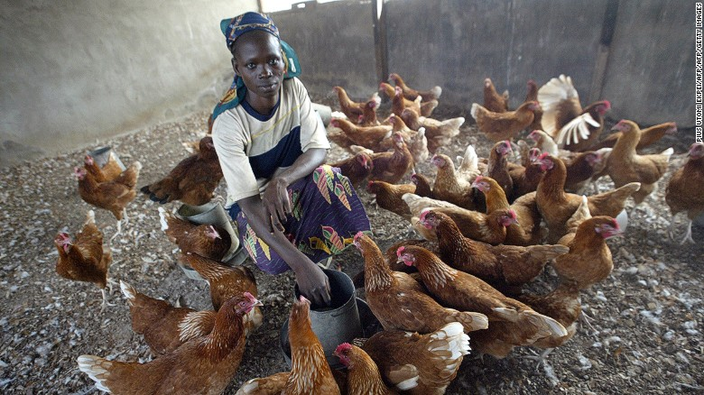 A woman feeding chicken in Nigeria. Bill Gates has donated 100,000 chickens in Sub-Saharan Africa, in hopes of helping reduce poverty.