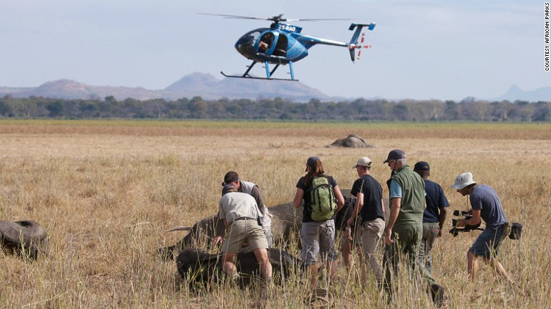 The elephants are then sedated by darts from above by rangers, which immobilizes them. As each animal falls, a team on the ground approaches it for a health check, ensuring it can breathe normally. If an elephant falls on its chest, it needs to be moved immediately, as this can cause asphyxiation. <em>Photo: Frank Weitzer</em>