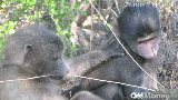 news.baboons.050409.cnnmoney.160x90.jpg