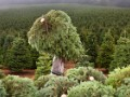 At work on the world's largest fir-tree farm