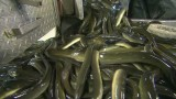 The slippery business of shipping eels
