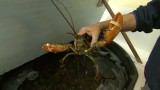 NY lobster business claws back after Sandy