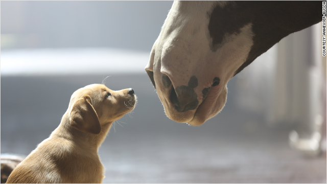 Budweiser Clydesdale Superbowl commercial