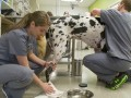 Veterinary techs' work: A 'labor of love'