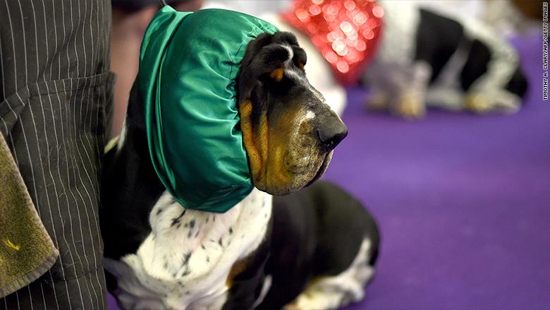 westminster 2015 basset hound