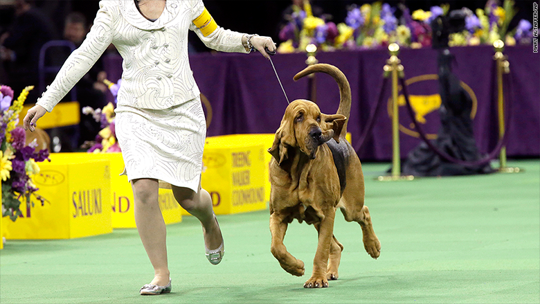 westminster 2015 bloodhound