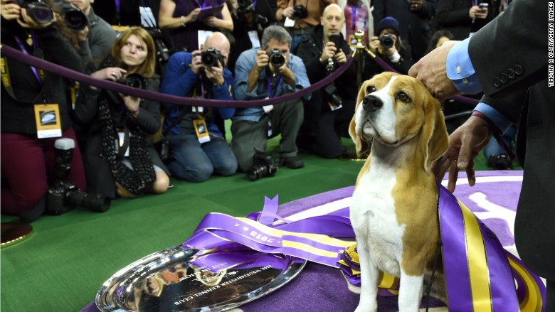 miss p westminster dog show beagle