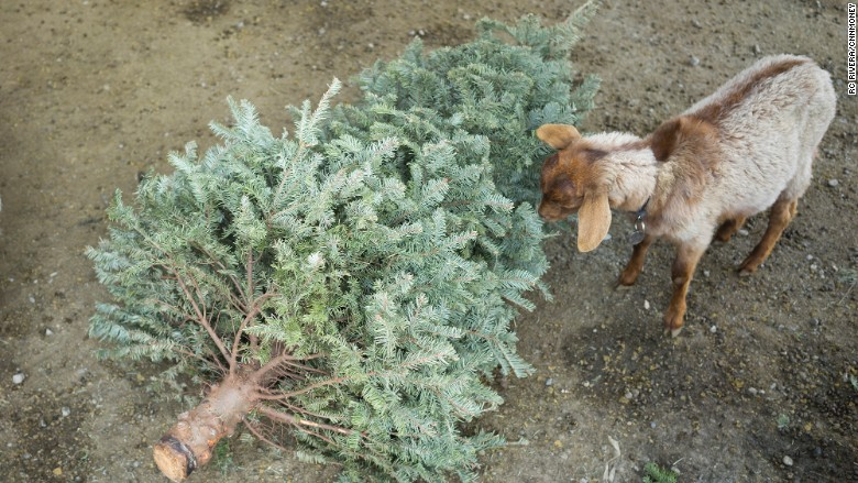 Goat christmas trees