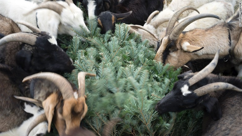 Goats eat trees