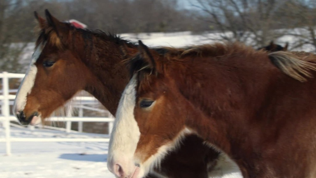Becoming a Budweiser Clydesdale