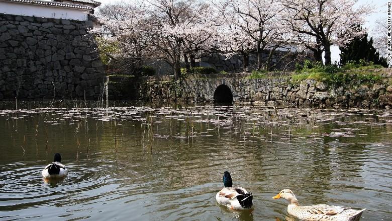 Fukuoka Castle cherry blossoms
