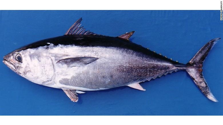 farmed Kindai bluefin tuna