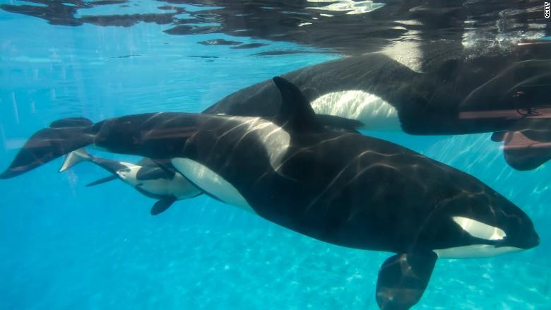 seaworld killer whale